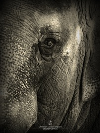 Mali, the Ancient Elephant at the Manila Zoo