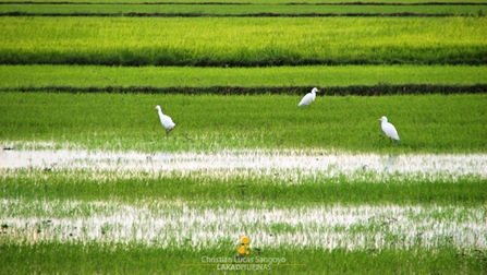 Egrets at Candaba Wetlands