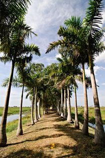 Palm Trees Along the Path to the Trail at Candaba Swamp