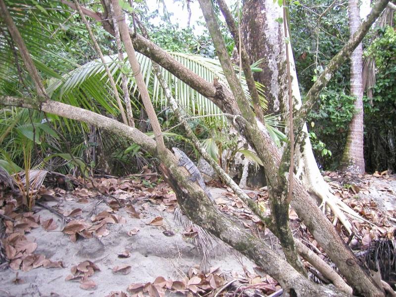 iguana at Manuel Antonio National Park costa rica