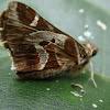 Mariposa saltarina castaña