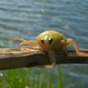 Giant water beetle