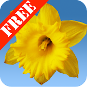 Daffodils Free Live Wallpaper