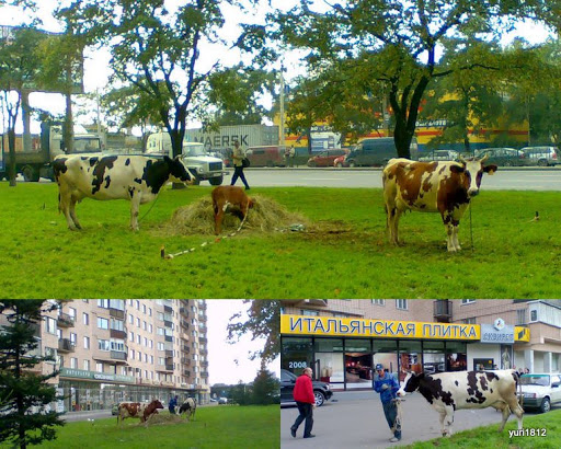 Сельский пейзаж в большом городе Санкт-Петербург Rural landscape in the big city of St. Petersburg photo yuri1812