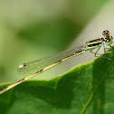 Citrine Forktail (male)