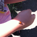 Two-spotted Lady Beetle