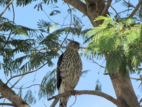 Sharp Shinned Hawk3