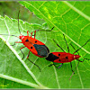 Red Cotton Bugs (Mating)