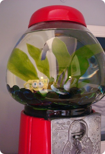 Beta fish in gumball machine