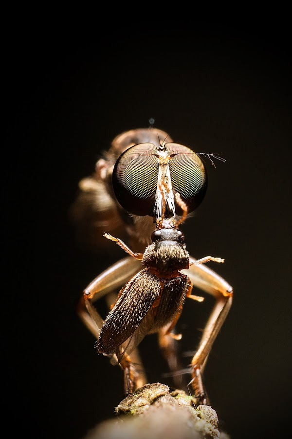robberfly by Umark Munauwar - Animals Insects & Spiders