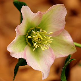 Lenten Rose by Ruby Stephens - Flowers Single Flower ( warm background, single flower, hellebore, green, white, pink, lenten rose )