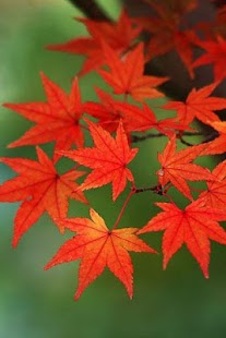 3D Maple Leaf Live Wallpaper - screenshot thumbnail