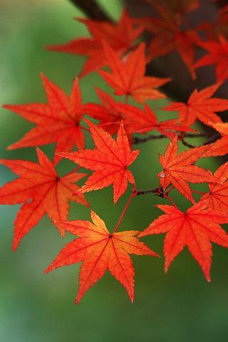 3D Maple Leaf Live Wallpaper - screenshot