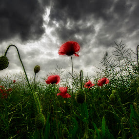 Moody Poppies by Ian Taylor - Flowers Flowers in the Wild ( stormy, clouds, wild, moody, poppy, poppies, flowers )