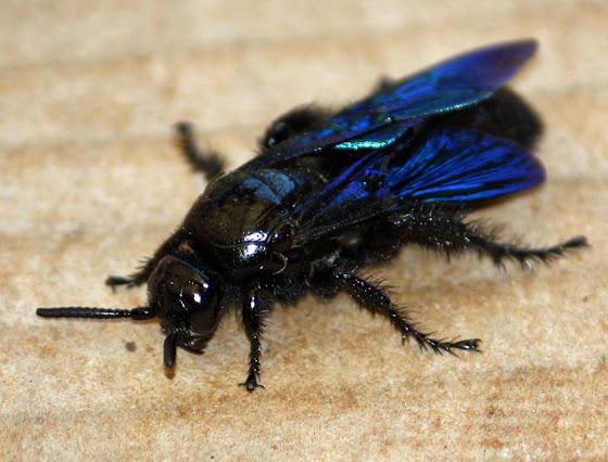 little blue bug