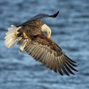 Yep . . . Got It!! by Mark Theriot - Animals Birds ( water, eagle, fish, bald eagle )