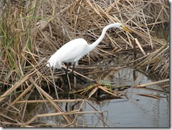 5177 Great Egret along Nature Walk South Padre Island Texas