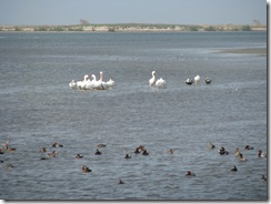 5378 Ducks and White Pelicans on Nature Walk South Padre Island Texas