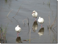 5403 Great Egrets on Nature Walk South Padre Island Texas