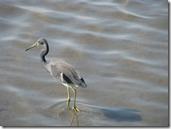 5658 Tri Colored Heron South Padre Island Texas