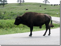 6464 Bison on US 16A Peter Norbeck Scenic Byway Iron Mountain Road SD