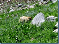 1697 A Blonde Black Bear Lassen Volcanic National Park CA