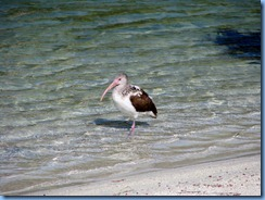 7006 Cutler Bay  FL walk juvenile White Ibis