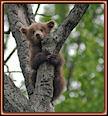 Osezno subido en un árbol