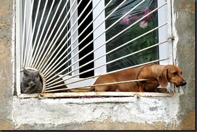 adorable,blinds,cute,daschund,funny,kitty-e1304e8586659022785c2cc090184529_h