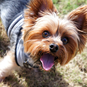 park day by Christopher Wu - Animals - Dogs Portraits ( #showusyourpets, yorkie, yorkshire terrier, terrier, dog, #garyfongpets,  )