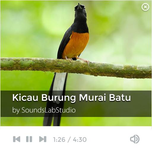 Suara Kicau Burung Murai Batu