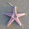 Armored sand star