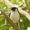 Pin-tailed manakin