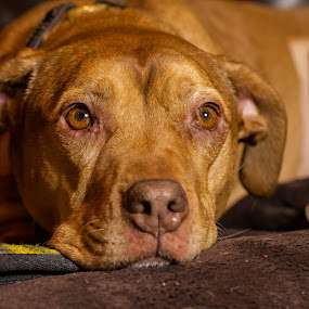 Time to Say Goodbye by Craig Lybbert - Animals - Dogs Portraits ( worn out, old, sad, old dog, pit bull, pit )