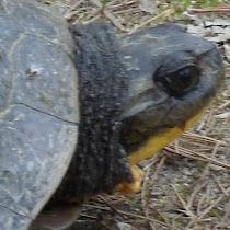 Turtle Crisis - Ontario