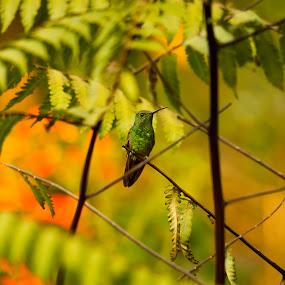 Humming Bird by Gabriel Cabrera - Animals Birds ( animals, nature up close, birds, humming bird )