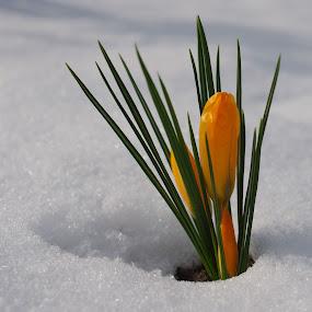 Flower in the snow by Edzo Boven - Flowers Flower Gardens ( pentax,  )