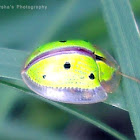 Indian Green Tortoise Beetle