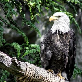 American Bald Eagle by Dennis Scanlon - Animals Birds (  )