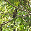 Turquoise-browed Motmot (Guardabarranco)