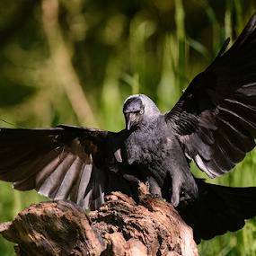 Landing by Robert van Brug - Animals Birds ( bird, jackdaw, landing, kauw, touch down, black )