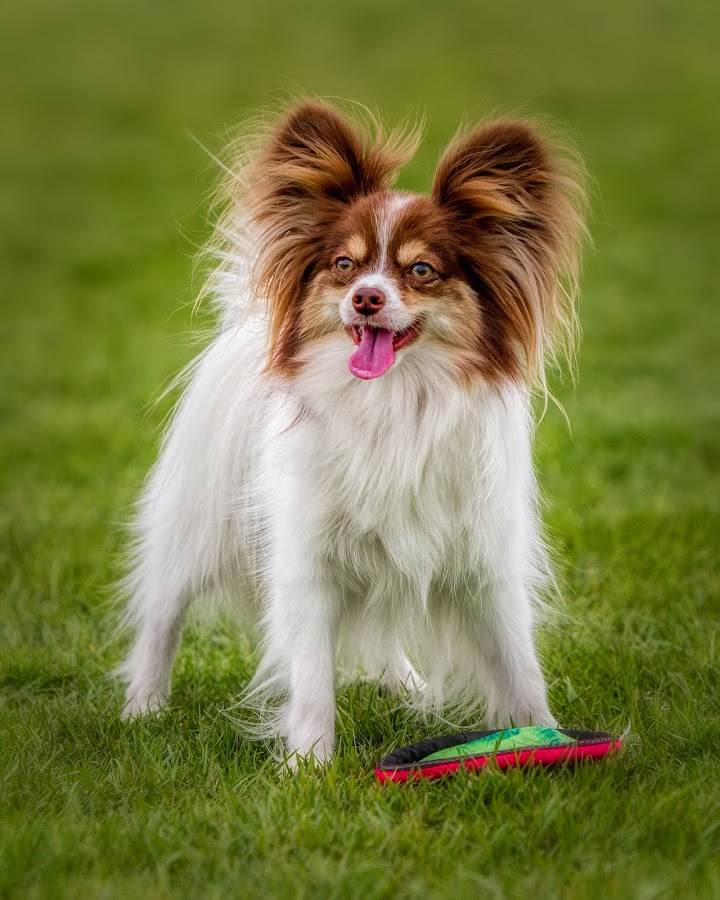 Play? by Kerry Perkins - Animals - Dogs Playing ( dogs, zen, dogs playing, dog portrait, papillon,  )