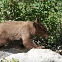 California Black Bear