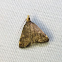 Merrick's Crambid Moth