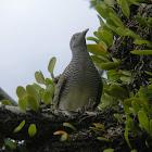 zebra dove, barred ground dove