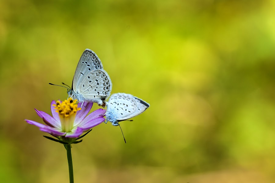 A Couple by Agus Prasetya - Animals Insects & Spiders ( nikon d700, butterfly, macro, animals, flowers,  )