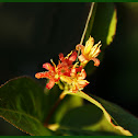 Northern Bush Honeysuckle