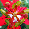 Scarlet Passion Flower