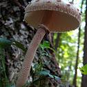 Parasol mushroom