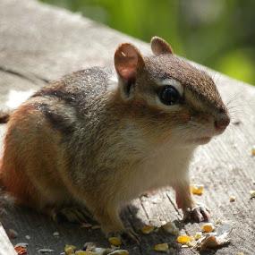 Chipmunk by Dave Davenport - Animals Other Mammals ( wild animal, mammals, wild life, chipmunk, wildlife, mammal,  )
